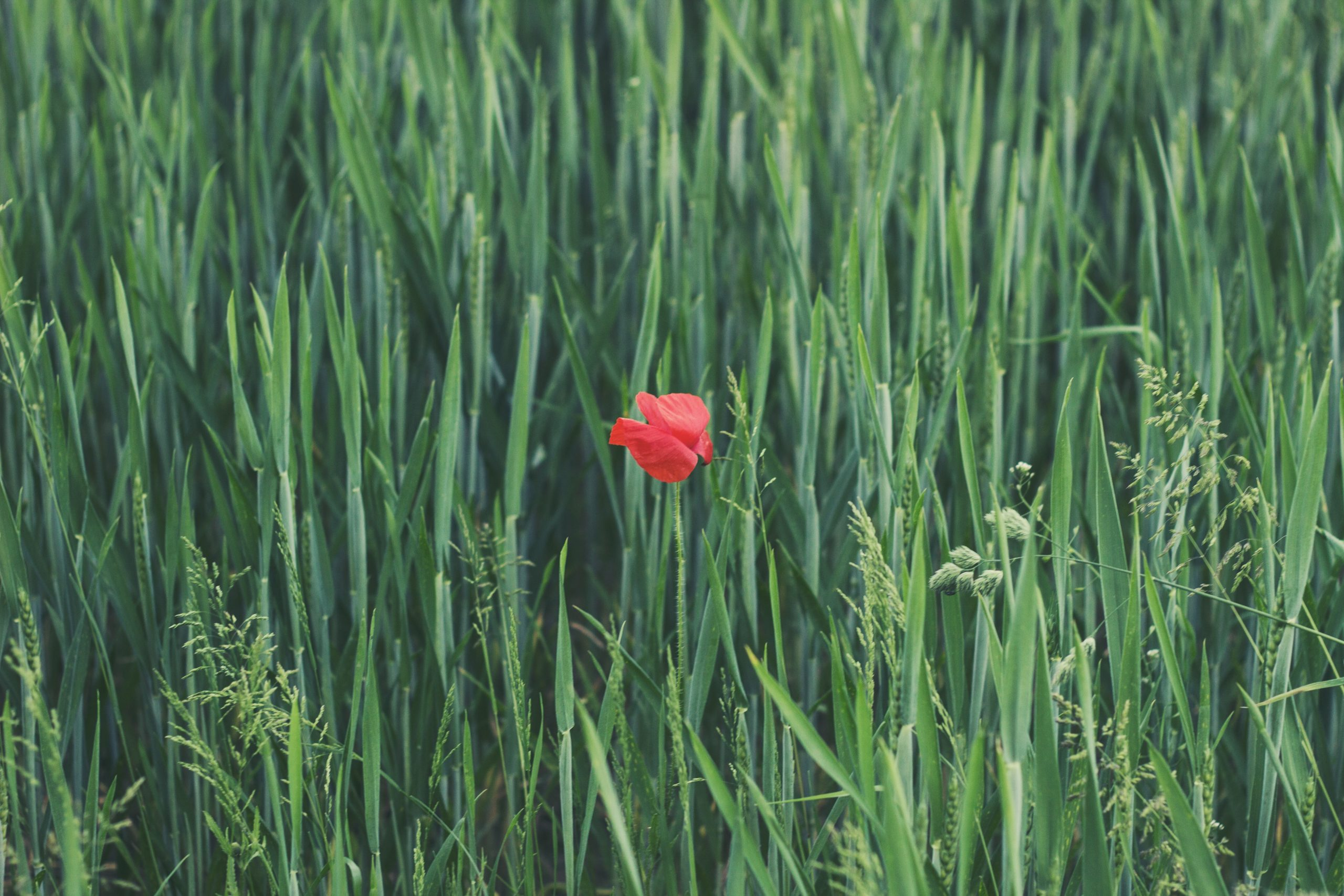 a single poppy surrounded by tall grass